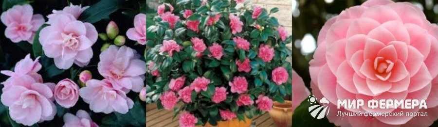 Комнатное растение камелия