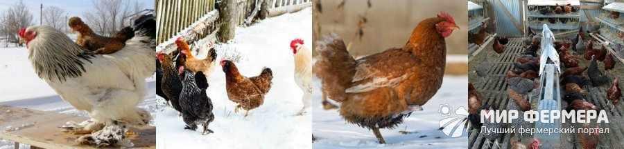 Как содержать кур зимой