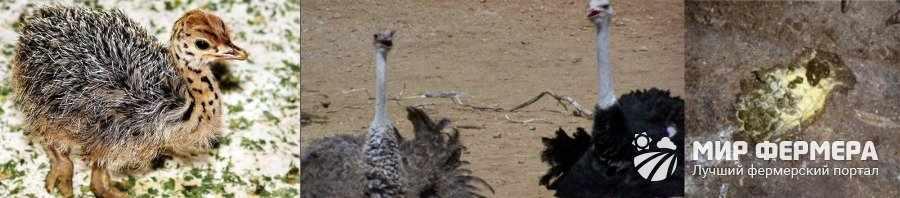 Диарея у страусов
