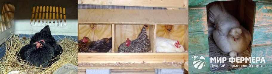 Как приучить курицу к гнезду