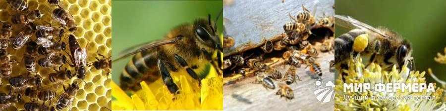 Пчелы карпатской породы купить