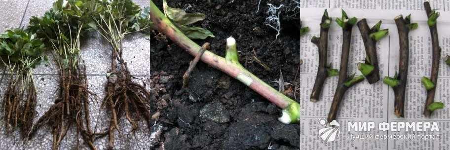 Размножение древовидного пиона