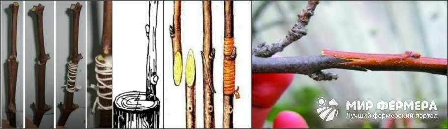 Способы прививки винограда