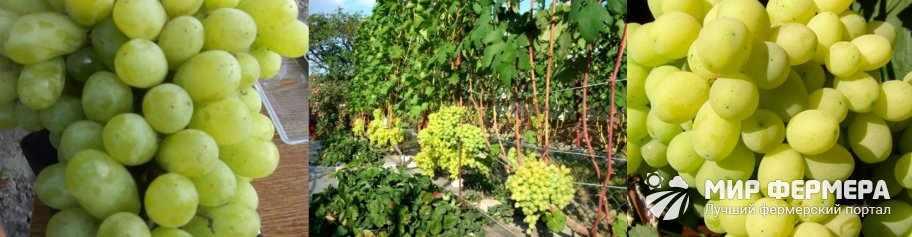 Ягоды винограда Лора