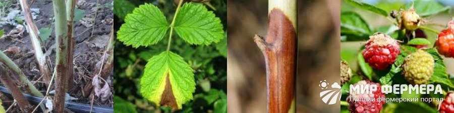 Дидимелла малины причины и симптомы