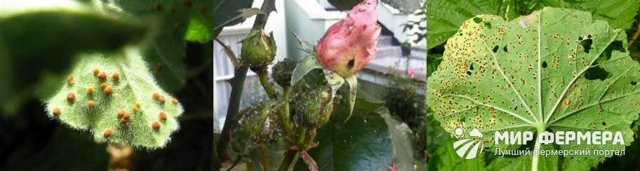 Болезни шток розы