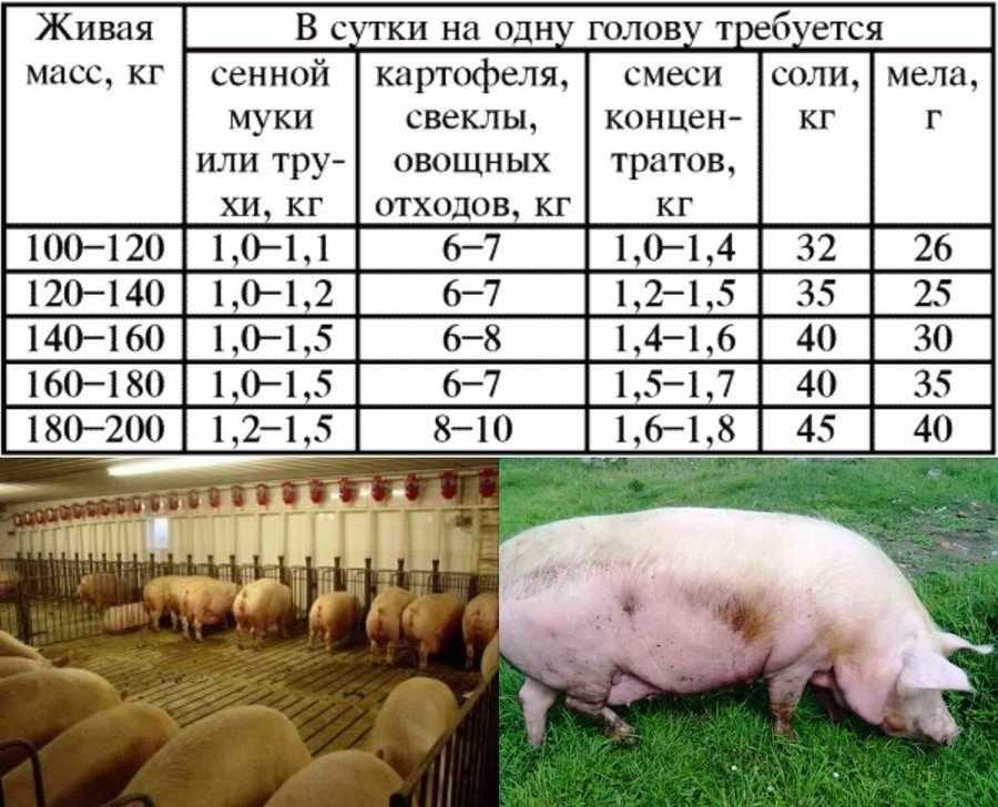 Кормление супоросной свиноматки