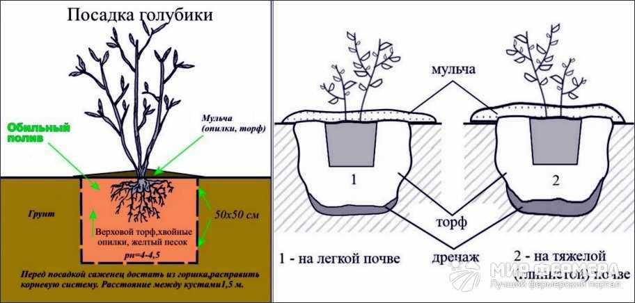 Как посадить голубику