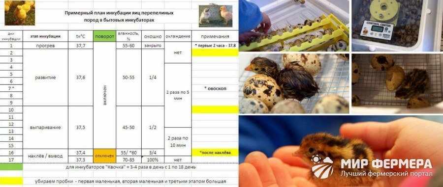 Схема инкубации перепелиных яиц