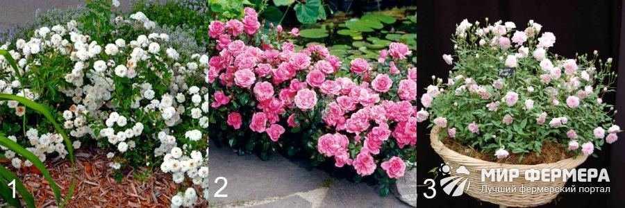 Лучшие сорта роз для дачи