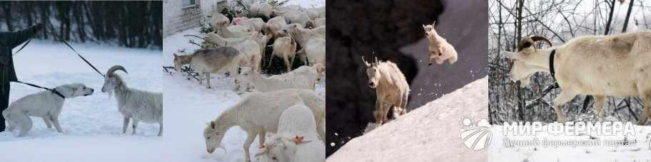Выгул для коз