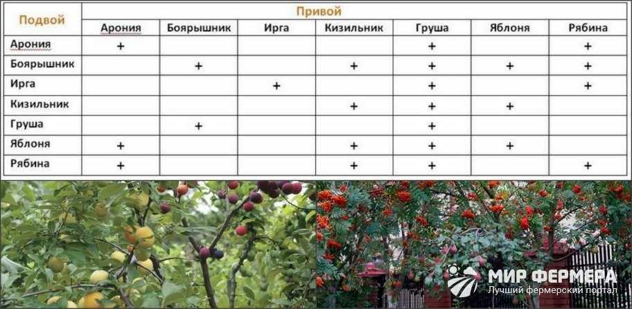 Что на что можно прививать таблица