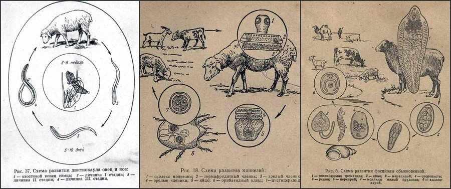 Паразиты у овец