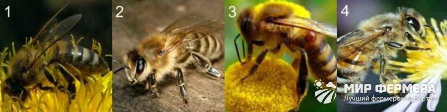 Выбор породы пчел