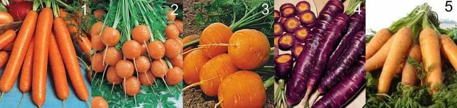 Ранняя морковь