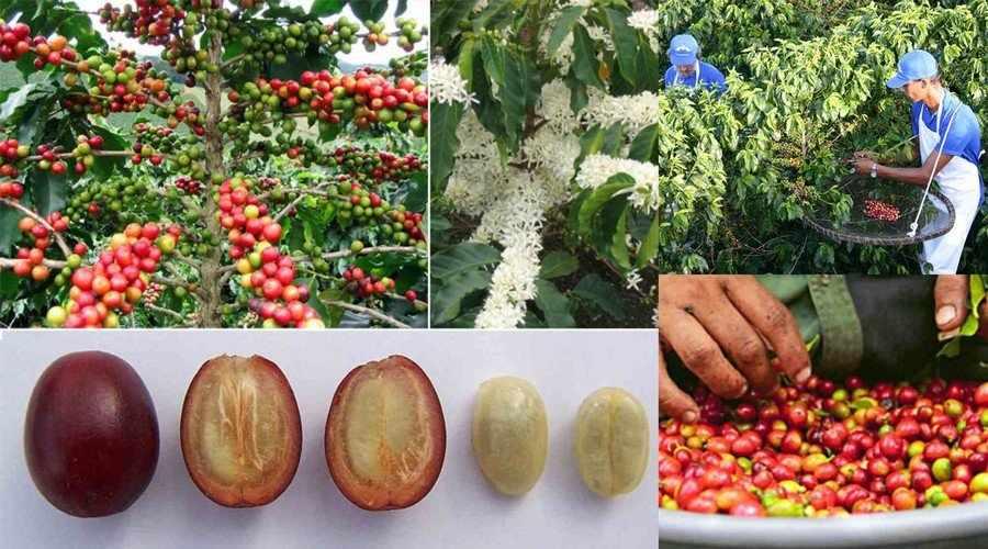 Сбор кофейных зерен