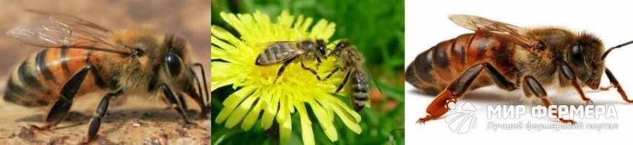 Кавказская порода пчел виды