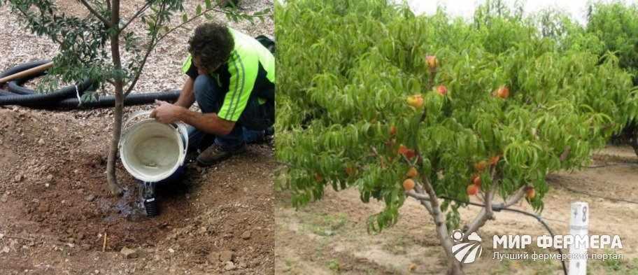 Как поливать персик