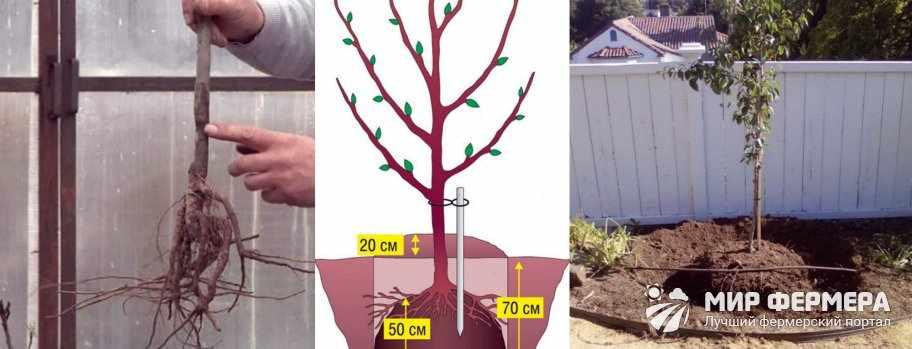 Как посадить грушу