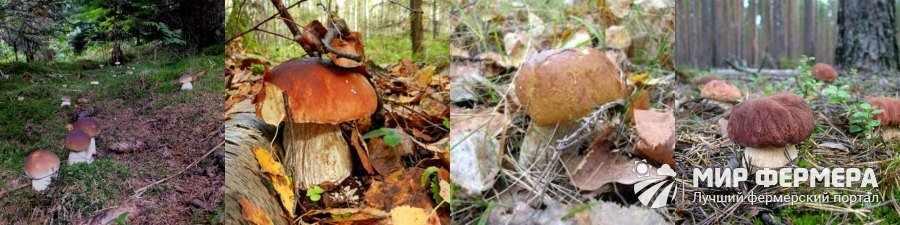 Где искать белый гриб в лесу