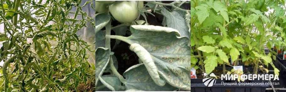 Скручиваются листья помидоров в теплице