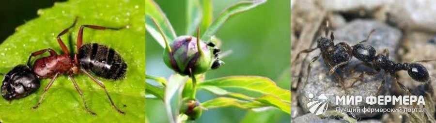 Дерновой муравей на пионах