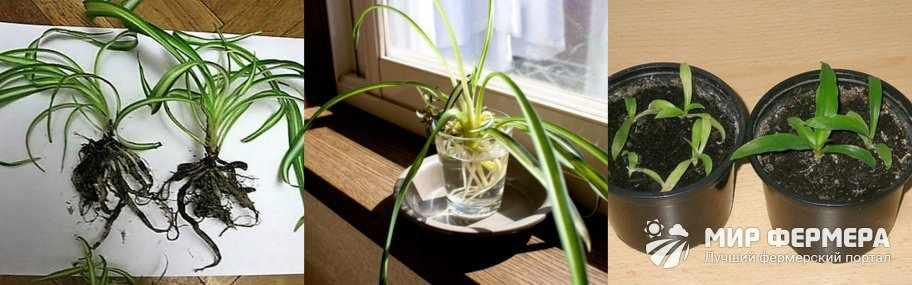Как размножают хлорофитум