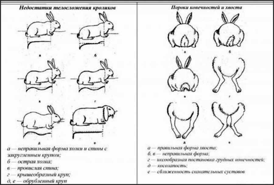 Как выбрать хорошего кролика