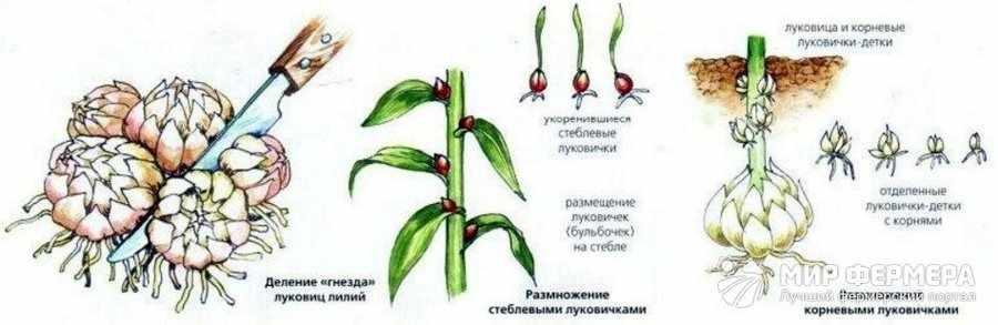 Способы размножения лилий