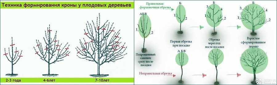 Формирование кроны деревьев