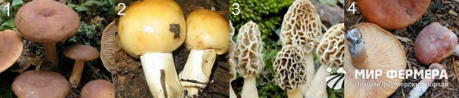 Условно-съедобные грибы фото и названия