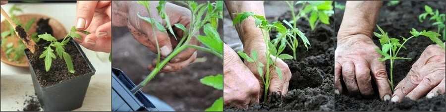 Пересадка томатов в открытый грунт