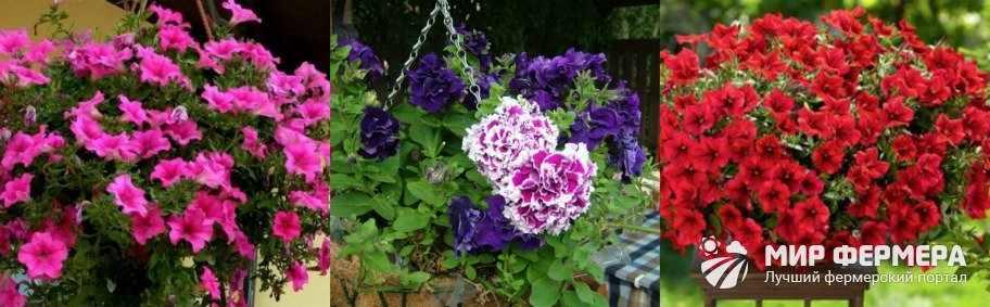 Цветок ампельная петуния