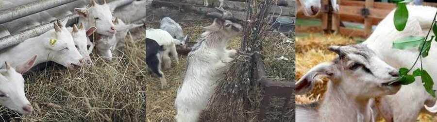 Грубые корма для коз