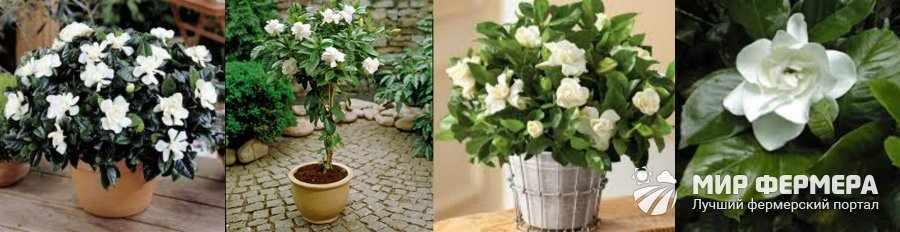 Цветок гардения жасминовидная