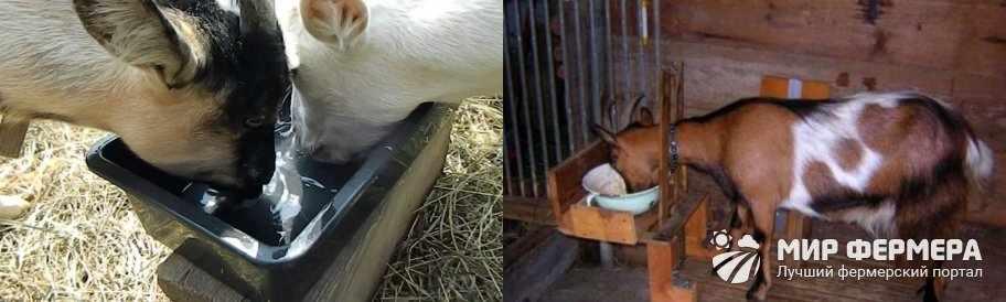 Чем поить коз зимой