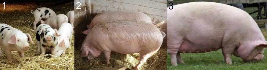 Откорм свиней и поросят