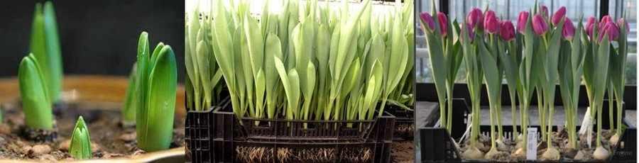 Ранняя выгонка тюльпанов