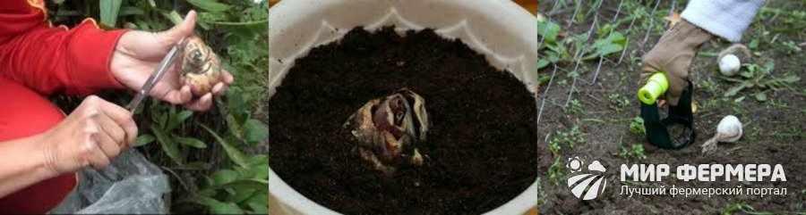 Луковицы лилий как поливать и сажать