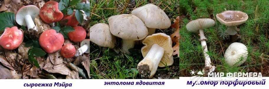 Ядовитые пластинчатые грибы