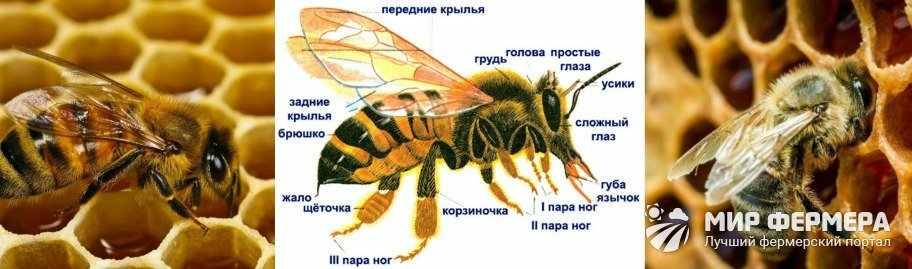 Выработка меда пчелами