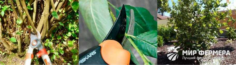 Обрезка черноплодной рябины