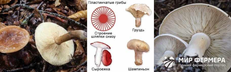 Пластинчатые грибы строение