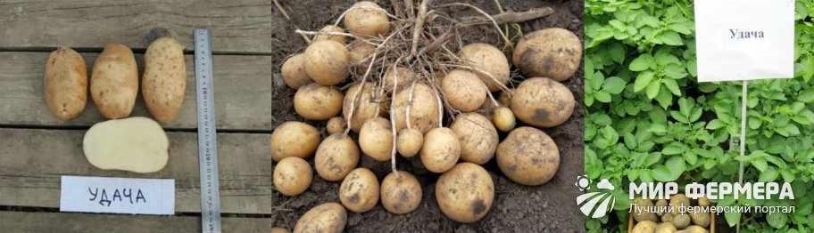 Картошка Удача фото