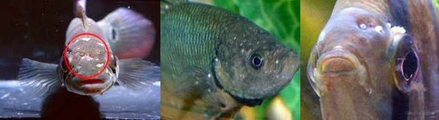 Ихтиоспоридиоз рыб