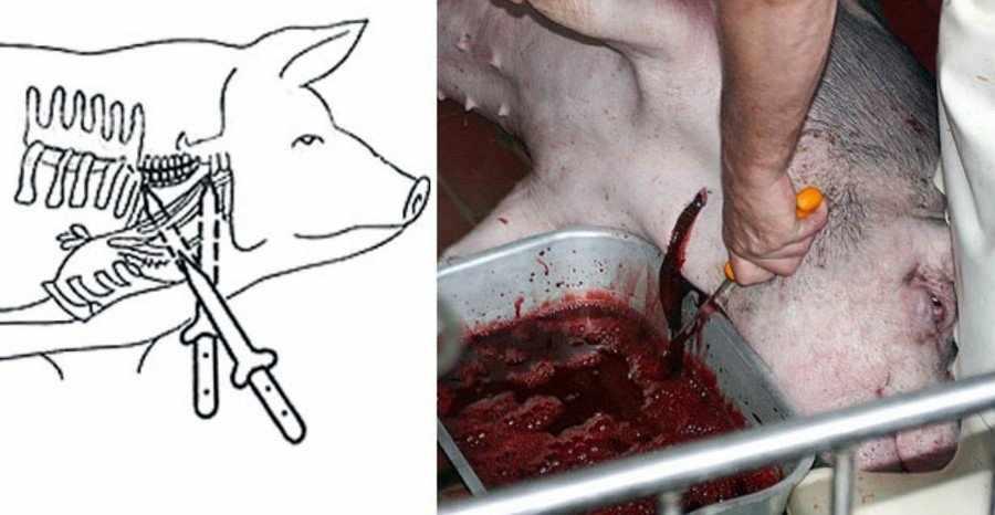 Забой свиней в шею