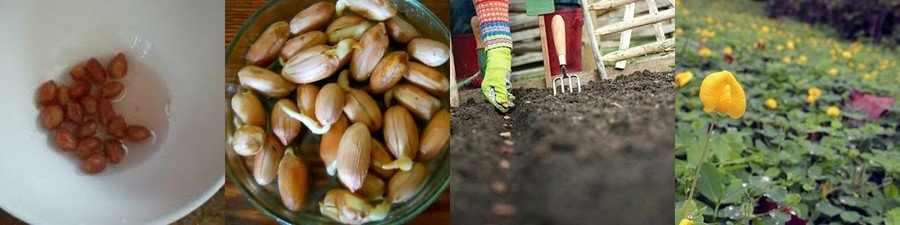 Посев семян арахиса