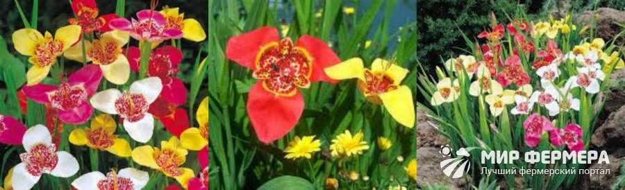 Цветок тигридия фото и описание
