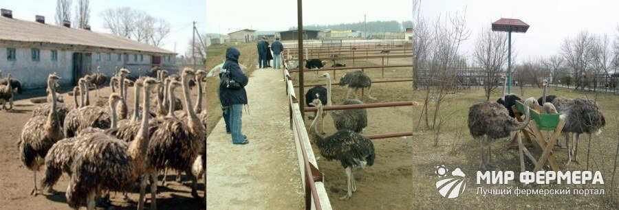 Помещение для содержания страусов