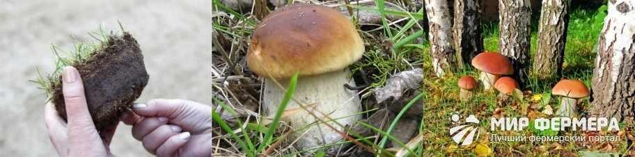 Выращивание белых грибов в открытом грунте